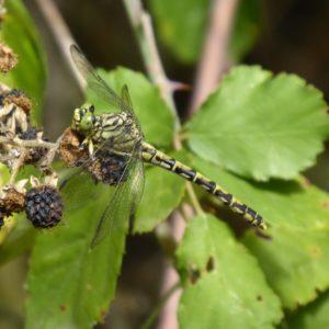onychogomphus-forcipatus-femelle