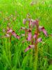 Sortie Découverte des Orchidées Sauvages, tout public, 14 mai 2017