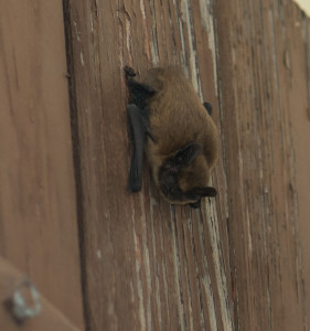 Pipistrelle_Gers_photo R.Baghi
