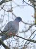 <strong>Sortie ornithologique du 7 mars 2021 au Bois du Bousquet : du Troglodyte mignon au Pigeon colombin !</strong>