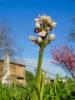 Orchis lacté à Saint-Orens : l'Orchidée tant attendue enfin repérée sur la commune