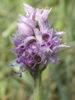 Douze espèces d'Orchidées au rendez-vous lors de la sortie du 2 mai
